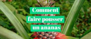 Read more about the article Comment faire pousser un ananas